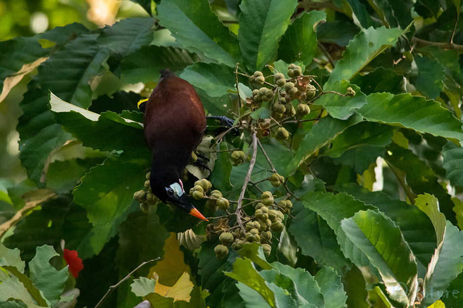 Suurturpial, Psarocolius, montezuma, Gymnostinops, Oropendola, Caribbean, coast, Costa Rica, Kaido Rummel