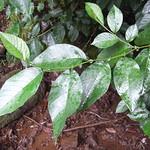 Alnus nepalensis leaf