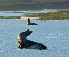 Two sea lions at sunset, Mosquera, Galapagos