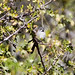 Bridled Sparrow B296747focPr por jvpowell