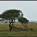 Small photo of Nicknamed 'the African tree', it is everywhere