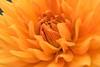 Warm Yellow Dahlia by Lauren Taliana