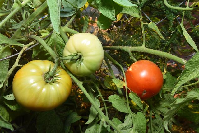 Jumbo Tomatoes!, Nikon D810, AF-S Zoom-Nikkor 14-24mm f/2.8G ED