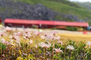 チングルマの穂と大池山荘