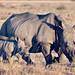 Rinoceronte con prole