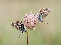 HolderChalkhill Grassland Butterflies