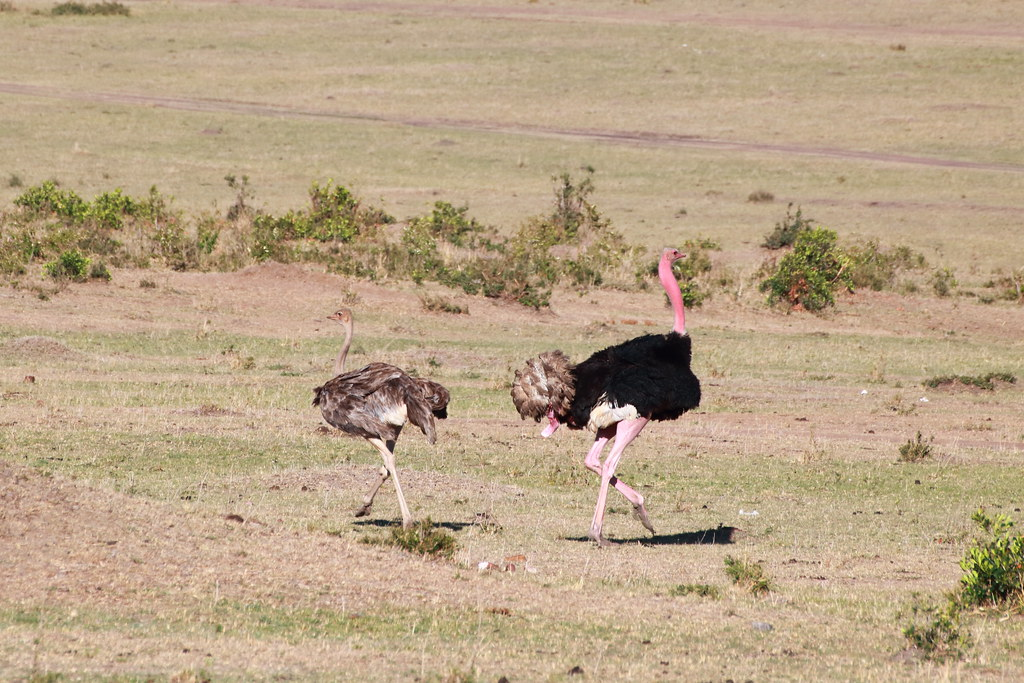 Turns out ostriches mating