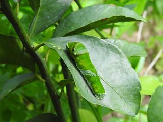 ナガサキアゲハ 幼虫03