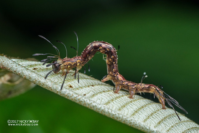 Ant-mimic caterpillar (Homodes sp.) - DSC_7830