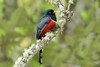 The Masked Trogon (Trogon personatus) by memogofe