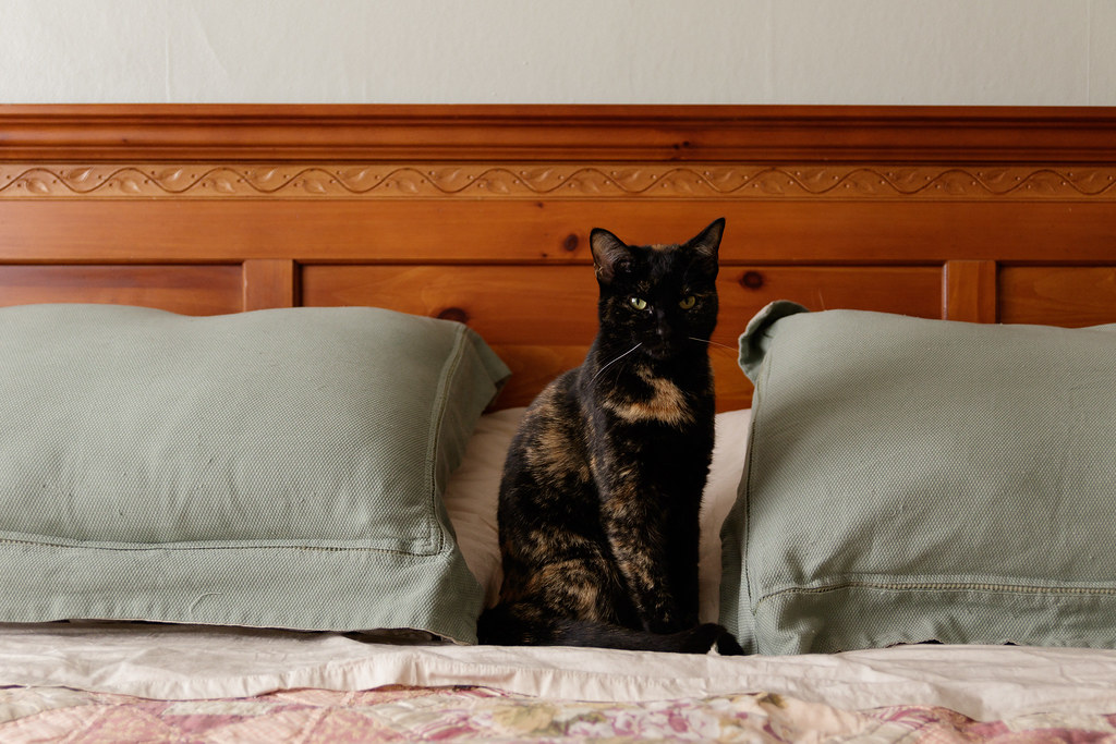 Our cat Trixie sits between two large pillows in our guest bedroom