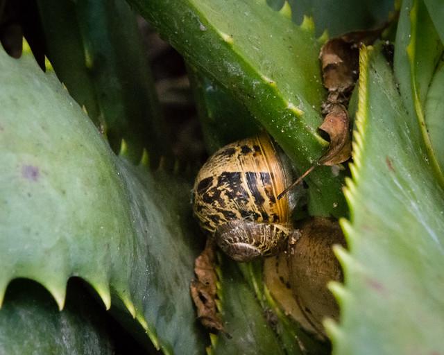 snail on agave