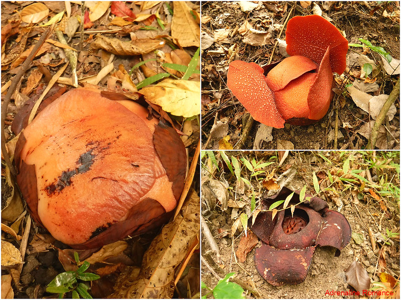 Rafflesia in various stages