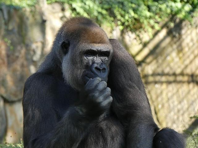 Gorilla Bibi, Zoo Berlin