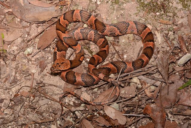 Rainforest Cat-eyed Snake