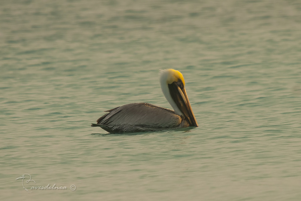 Pelícano pardo (Brown Pelican) Pelecanus occidentalis