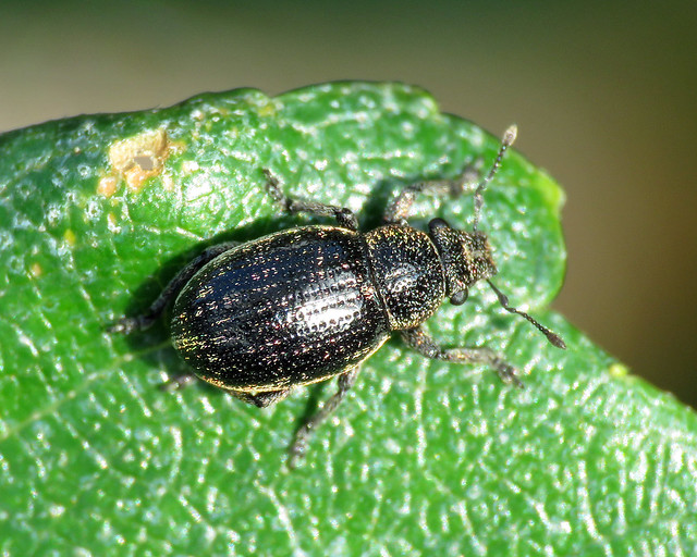 Heather Weevil - Neliocarus sus