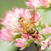 Tachinid fly by ML Rasmussen