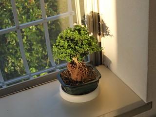 06 鉢上20cm高の盆栽でした