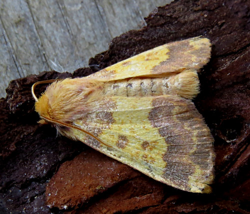 Barred Sallow Tiliacea aurago Tophill Low NR, East Yorkshire September 2017