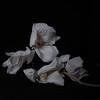 Orquídia I