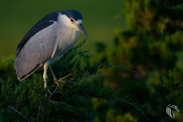 Black-crowned Night Heron | 2017 - 15