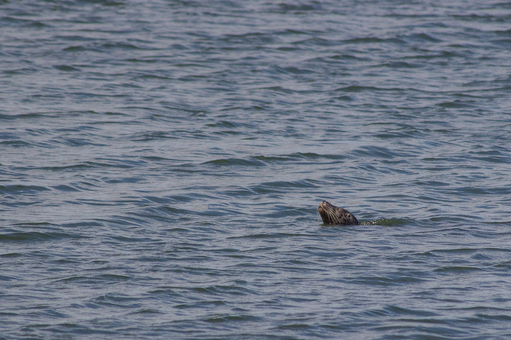 Seal swimming off Third Beach Vancouver