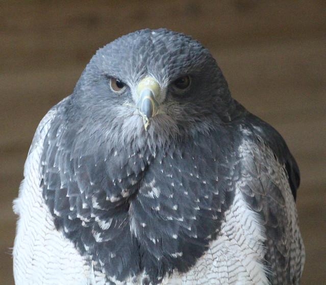 Chilean Blue Buzzard Eagle