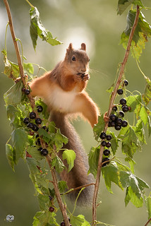 squirrel between branches with black currant
