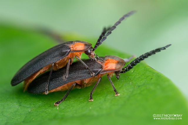 Firefly beetles (Lampyridae) - DSC_8637