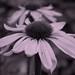 2017 08 05 - pink echinacea 3b
