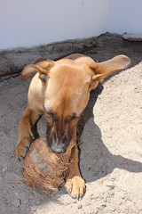 A great toy for Lola: A coconut shell.
