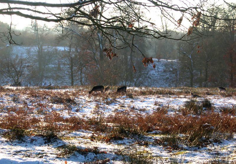 Deer in Knowle Park