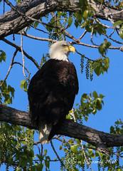 Eagle perched at Grand RiverB