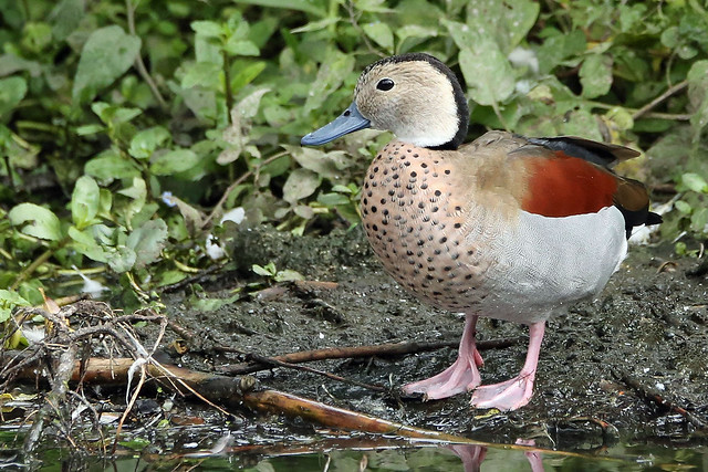 A Ringed Teal.