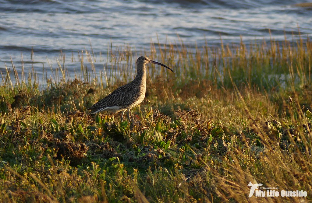 P1120166 - Curlew, Burry Inlet