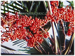 Ever fruiting Saribus rotundifolius (Round-leaf Fountain Palm, Fan/Footstool Palm, Table Palm, Java Fan Palm, Anahaw Palm), 3 Sept 2017