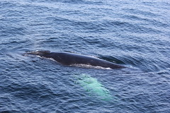 Humpback whale seen Sept 16th