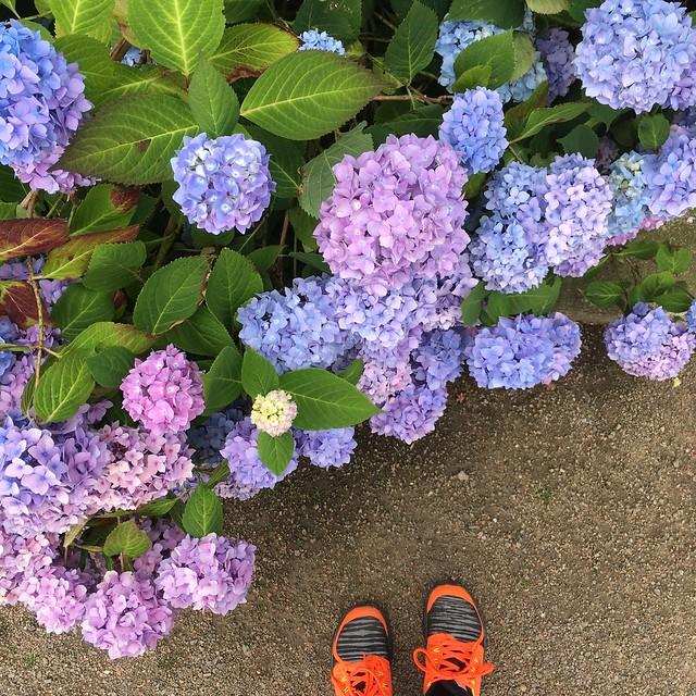 tuesday, walking, hortensia, hydrangea, helsingborg