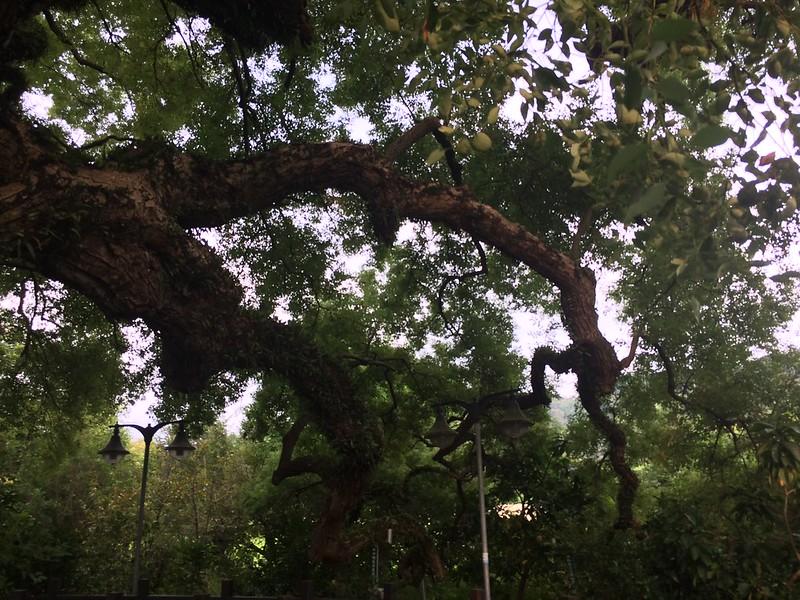 太平百年大樟樹