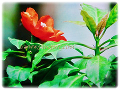 Captivating orange-red bloom of Pereskia sacharosa (Needle Seven Blade, Seven Star Needle, Rose Cactus, Tree Cancer, Jarum Tujuh Bilah in Malay), 11 Sept 2017