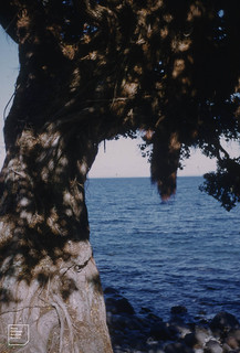 Metrosideros excelsa. Different aerial roots on trunk and branches. Little Barrier Island, northern NZ. August 1957