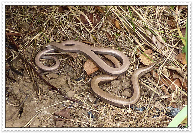 Slow worms Adults