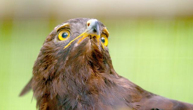 Long Crested Eagle_4