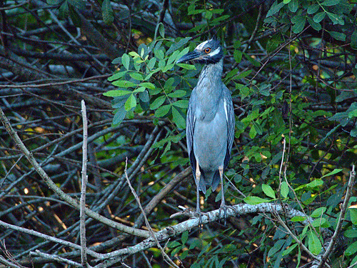 Yellow-crowned Night-Heron 01  E-M10 20170808