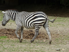 Cerza Zoo - zebra - Photo of Beuvillers
