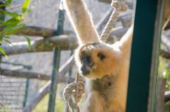 Curiosité du Gibbon
