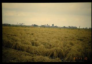 Machine-transplanted Rice At Harvesting Time = 収穫期に於ける機械移植栽培の水稲