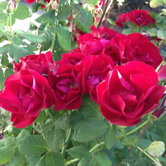 Promised You a Rose Garden .....