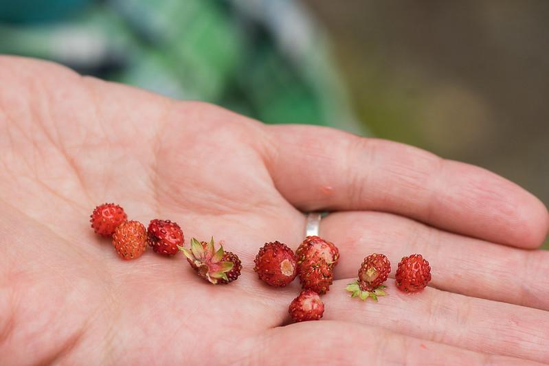 Wild strawberries on hand